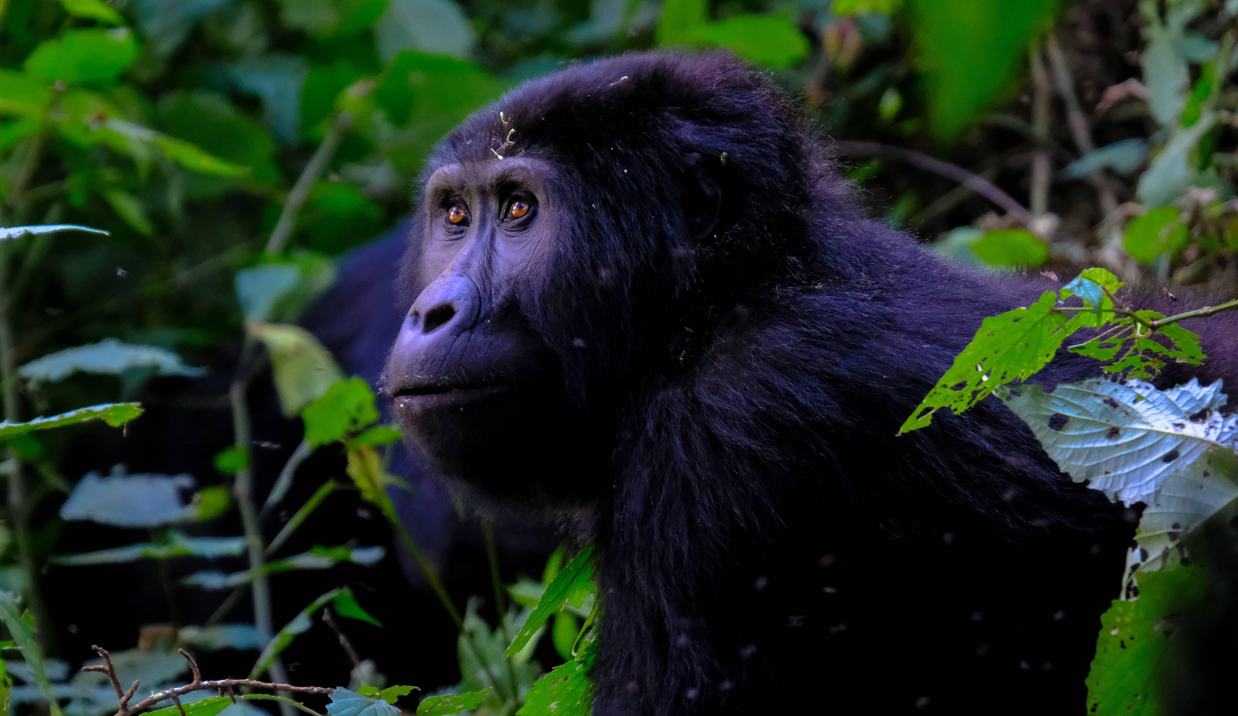 Gorilla geboren in Beekse Bergen, nu nog een naam!