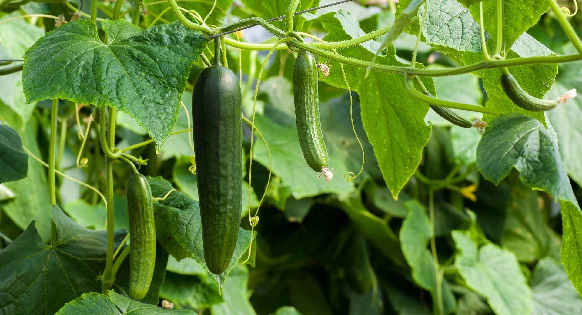 Komkommertijd: 17 weetjes over komkommers